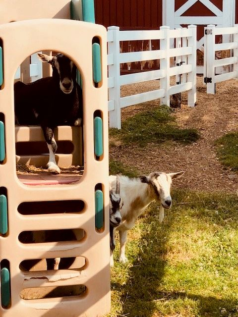 Goats on playscape