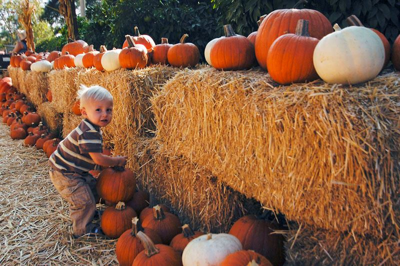 Child picking up pumpkin next to straw bales